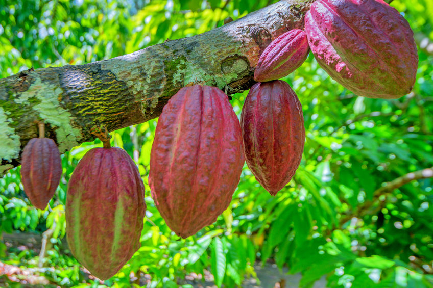 Cacao culture durable